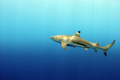 Blacktio Reef Shark Palau