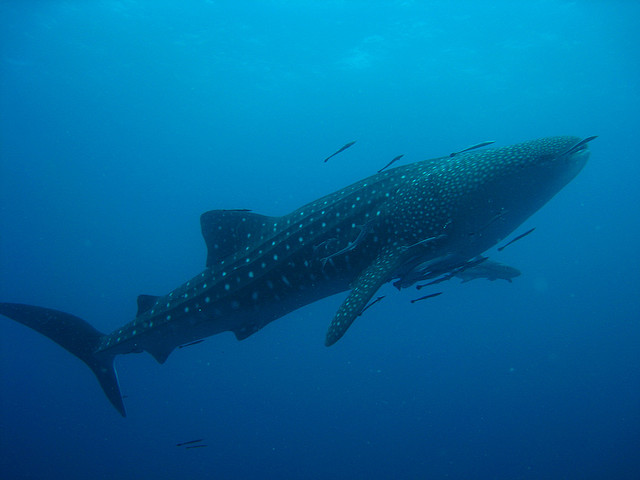 whale shark attack. dresses whales shark whale